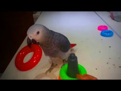 Cute Parrots 🐦🐦 Amazing Parrots Doing Funny Things (Full) [Funny Pets]