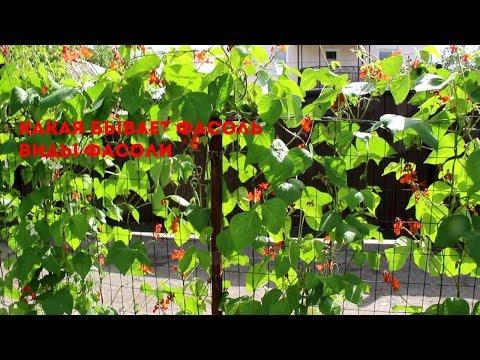 Виды фасоли для выращивания на участке
