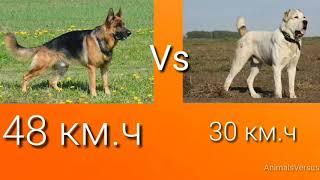 Немецкая овчарка против Алабай! КТО СИЛЬНЕЕ German Shepherd VS Alabay! WHO IS ST
