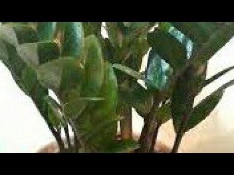كيفية العناية بنبتة الزاميا زاميوكولكاس Zamioculcas Zamiifolia Youtube