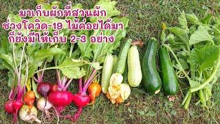 มาเก็บผักที่สวนผัก ช่วงโควิด-19 ไม่ค่อยได้มาทำสวนเท่าไหร่ แต่ก็มีผักให้เก็บ 2-3 อย่าง (10 Jul.20)