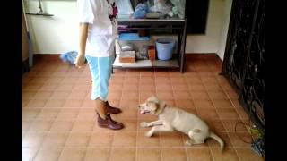 Labrador Retriever Mix Puppy For Adoption - 5 Months, Trai..