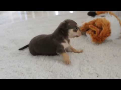 Chihuahua Puppies Playing (cute!) - Dogs and Puppies