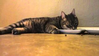 Bob Cat eating like a lazy cat