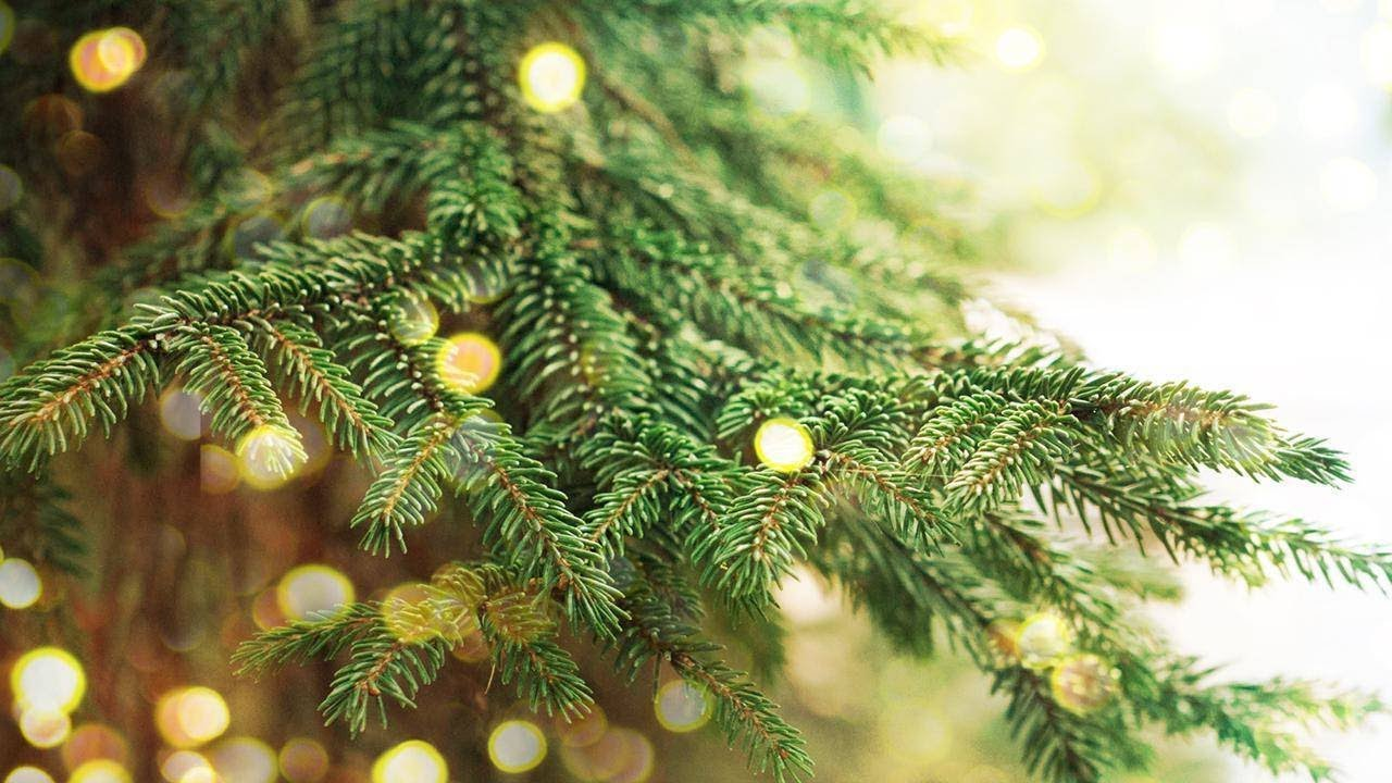 White Pine Christmas Tree Care