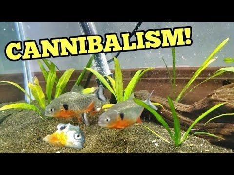 Buying MOST VICIOUS PIRANHAS For Home Aquarium