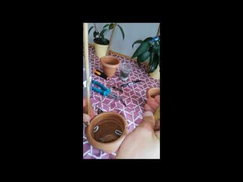 Hoya Çiçeği, Mum Çiçeği Bakımı