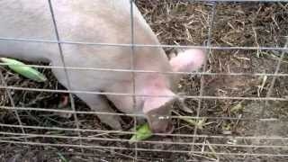 Farm pigs eating whole ears of corn. Watch your fingers!