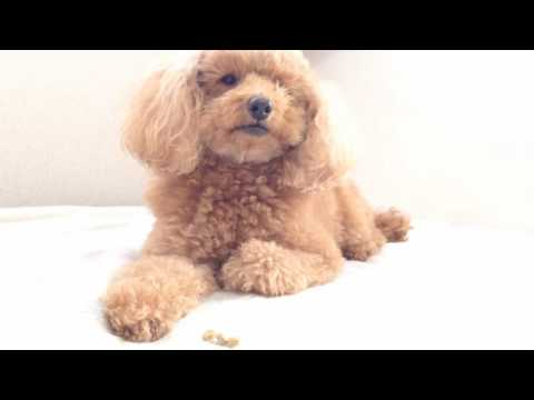 how to stop my toy poodle from barking