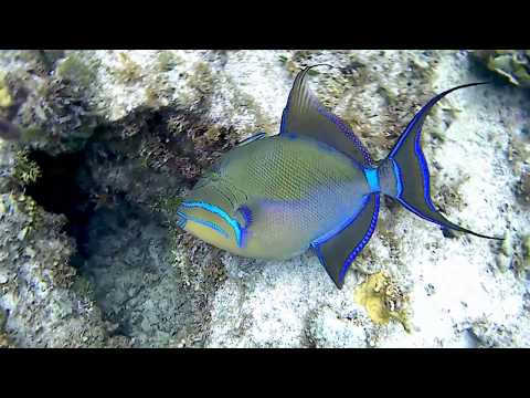 Queen Triggerfish with hatched Juveniles at Rose Island Reef in the Bahamas
