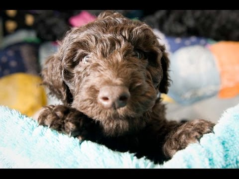 Barbet  (French Water Dog)