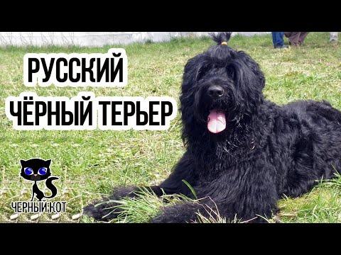 Вопрос: С какими породами собак сравнивают русского чёрного терьера Почему?