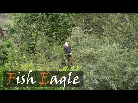 African Fish Eagle Bird Call | Fish Eagle Calling | Stories Of The Kruger