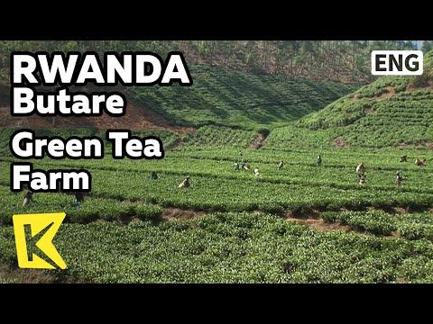 【K】Rwanda Travel-Butare[르완다 여행-부타레]끝없는 녹차 밭/Green Tea Farm/Field/Village