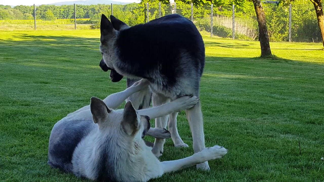 Ost-Russischer Schäferhund