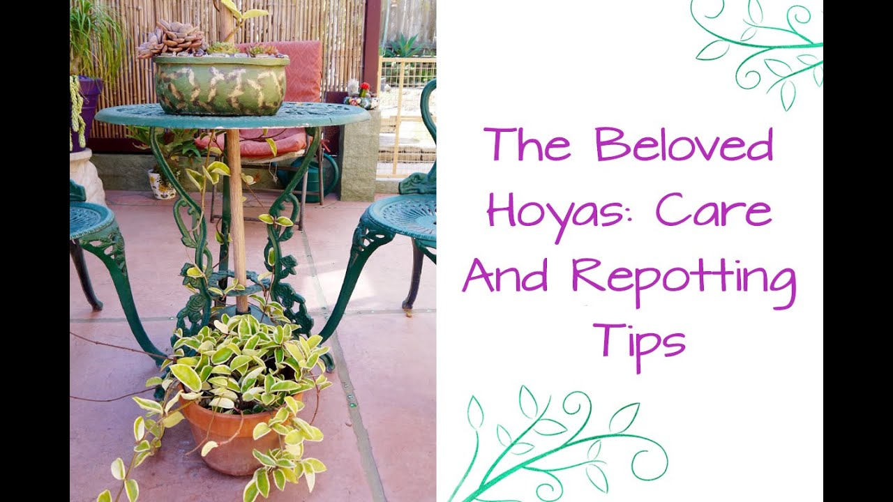 The Beloved Hoyas Care Repotting Tips For These Exotic Plants