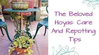 The Beloved Hoyas: Care & Repotting Tips For These Exotic Plants