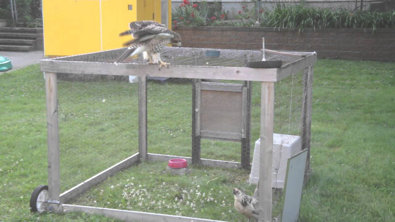 Hawk tries to get through chicken wire - YouTube