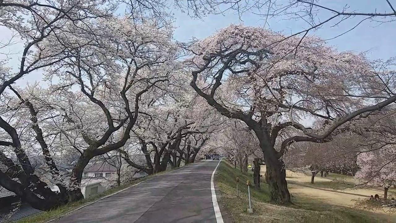 日本 名古屋 賞櫻 2018 - 木曽川堤の桜 - 滿開超正! - YouTube