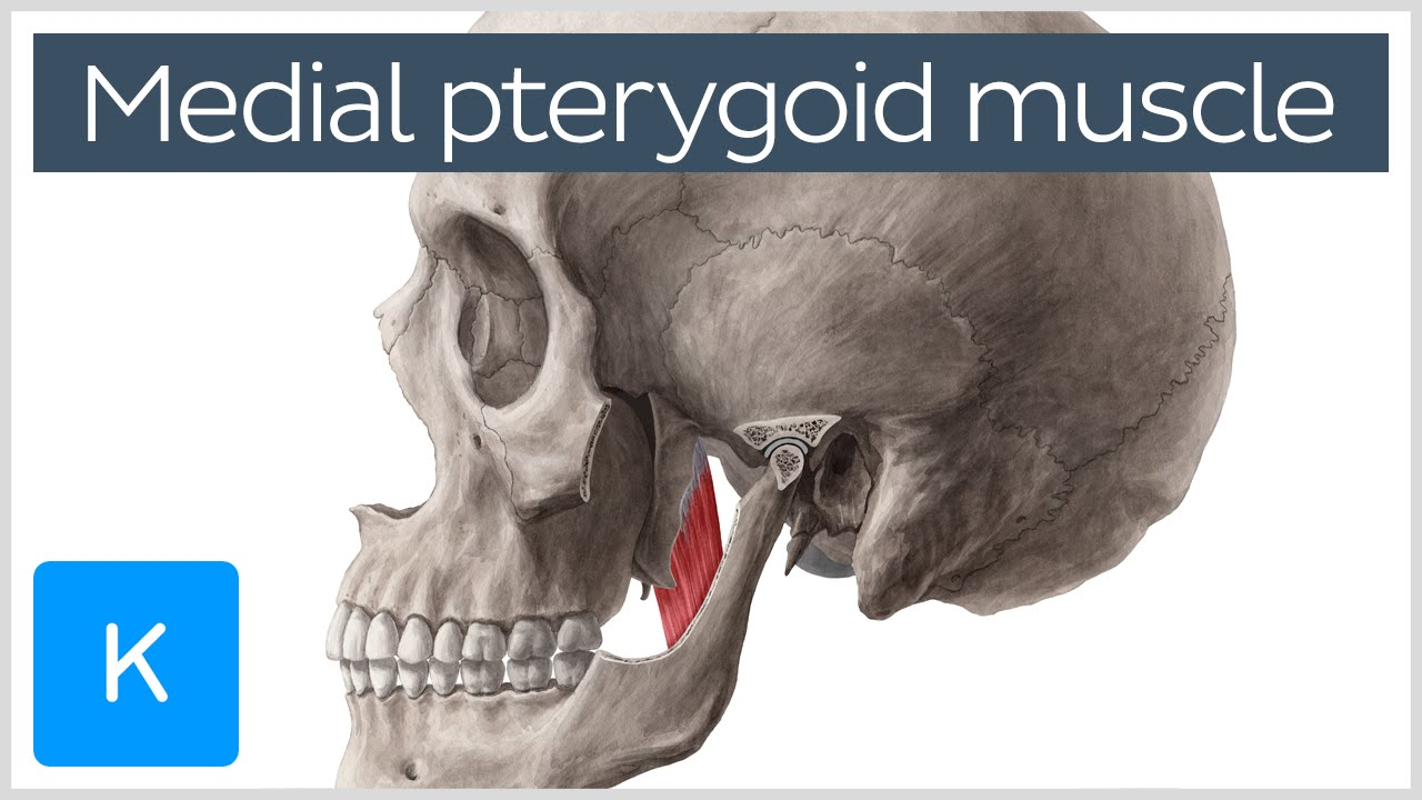 Medial Pterygoid Muscle Origin Insertion Function Nerve Supply