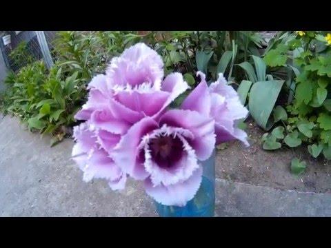 Шикарные тюльпаны фиолетового цвета с необычными лепестками