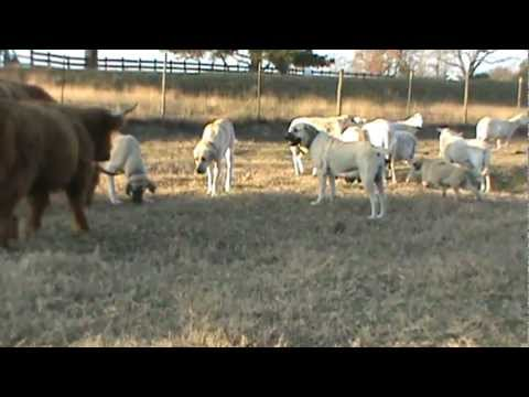 Boz Shepherd Livestock Guardian Dogs