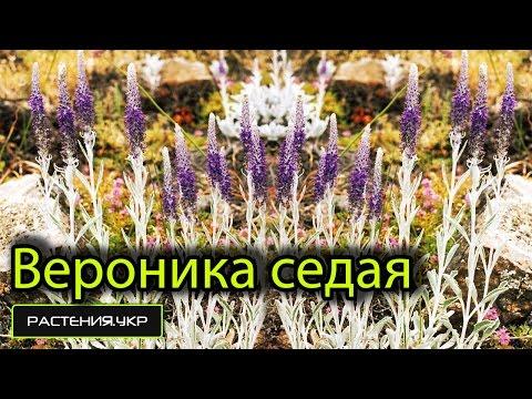 Вероника лекарственная: свойства и применение растения в