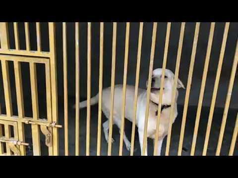 Rottweiler|Labrador|Cross
