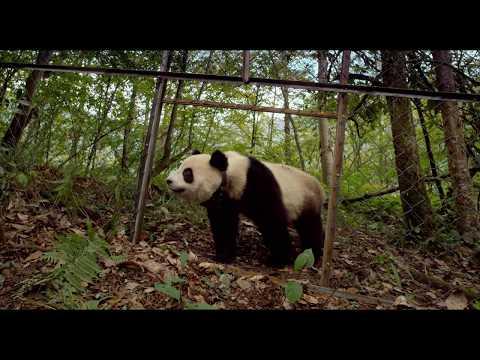 Pandas 3D Trailer