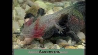 Земноводные (Саламандры,аксолотли и тритоны)-Уникальные формы жизни