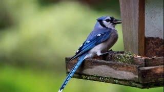 Feeding A Blue Jay Bird (blauhäher Fütterung)