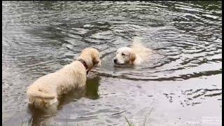 Что делать, если Ваша собака боится плавать? Десятимесячный Бруно боится плавать Аля Голден его учит