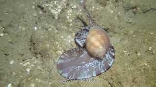 Tonna Perdrix, Plongee De Nuit / Night Dive , Nosy Be Madagascar