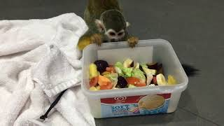 Squirrel monkey drying of after a bath