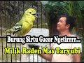 Burung Sirtu Milik Raden Maz Taryubi Super Gacor Dan Bermental Baja  Mp3 - Mp4 Download