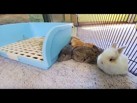 Live Bunny Cam! Baby Lop Bunnies ?