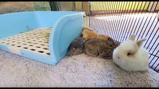 LIVE Bunny Cam! Baby Lop Bunnies