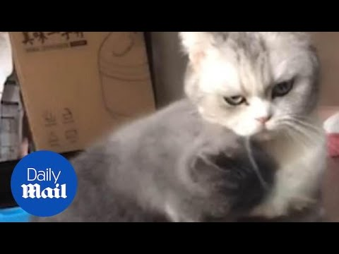 Scottish fold cat hugged and kissed his American shorthair friend