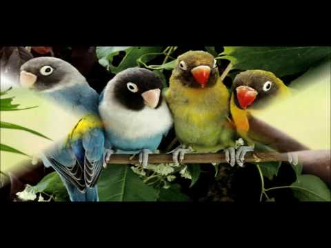 beautiful-love-birds-wallpapers