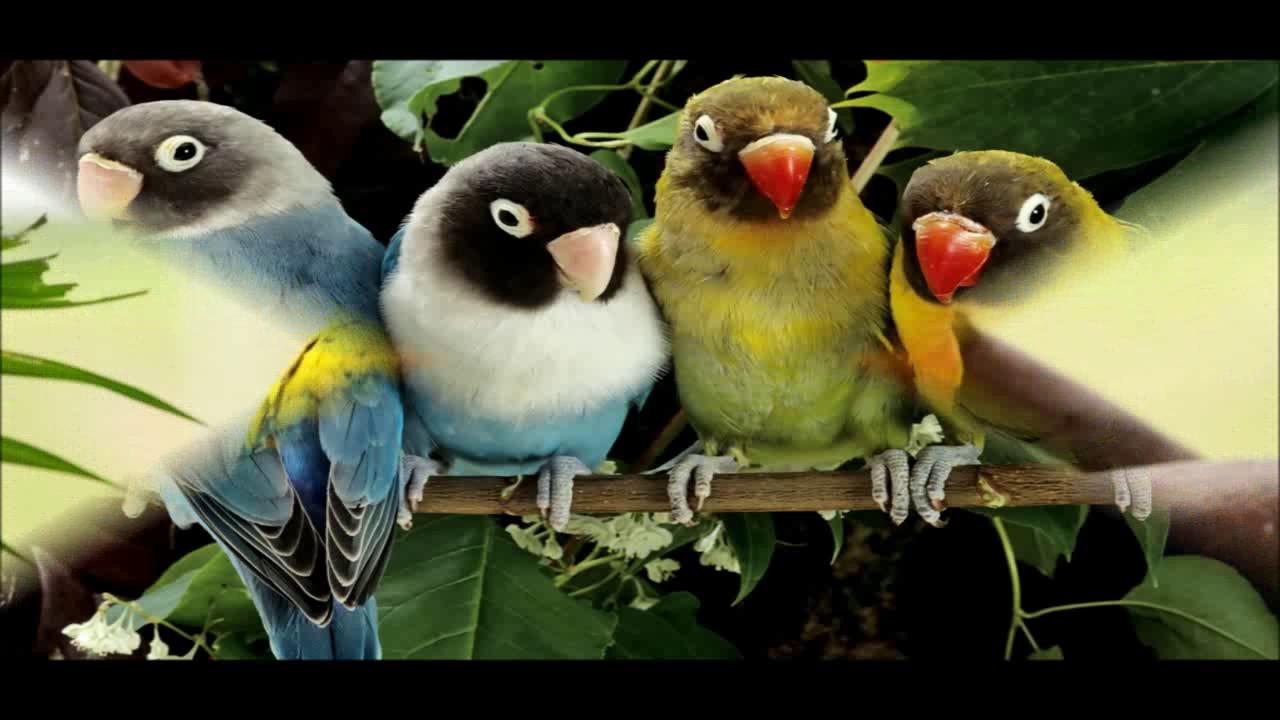 Amazing Wallpaper Love Bird - maxresdefault  Best Photo Reference_736328.jpg