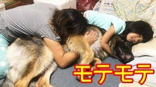 大型犬・#ジャーマンシェパード犬・マック君 今日はママと孫娘りりかに...
