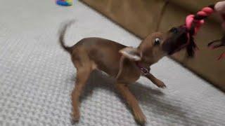 Самая злая в мире собака! Летающая собака!