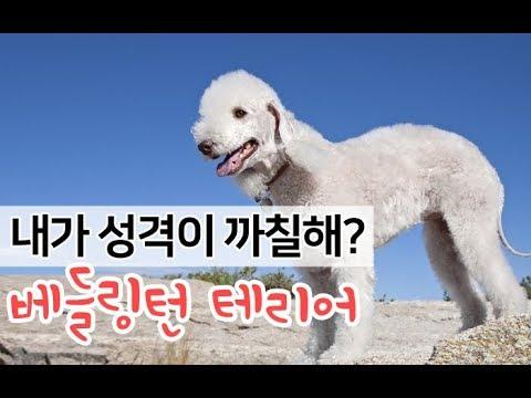 [강아지 소개] 양처럼 순한외모에 까칠한 성격의 소유자 베들링턴 테리어