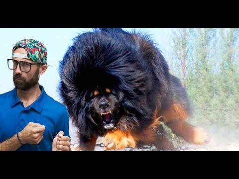 Top 10 επικίνδυνες ράτσες σκύλων