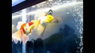 Goldfish show in Shanghai, China