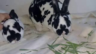 Обзор кролей породы Рекс Далматинец.Самец учуял самку.Чуть не случилась случка))) ужас.