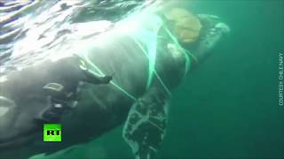 Underwater struggle: Chilean navy divers rescue whale trapped in fishing net