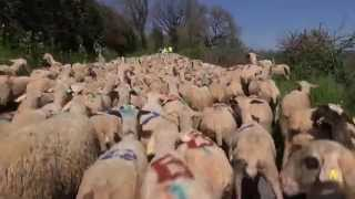 Transhumance Lot (Séniergues) 2013