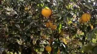 Citrus farms in Saudi Arabia, yup they have them
