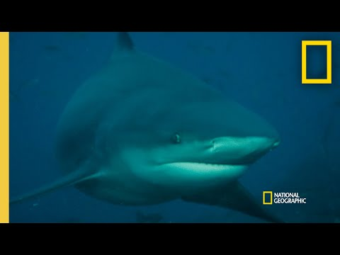 What Could Trigger a Shark Attack? |  Rogue Shark